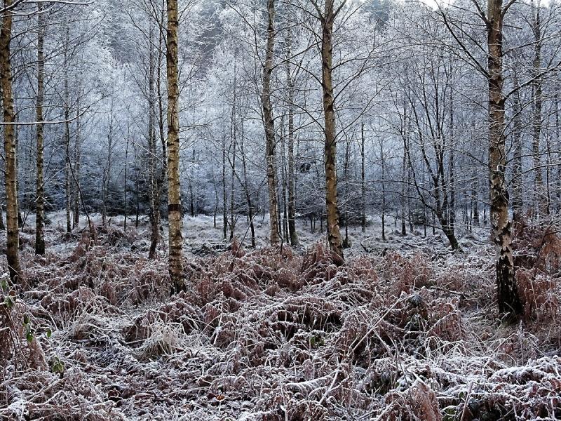 Birkenwald im Winter im Loopebachtal