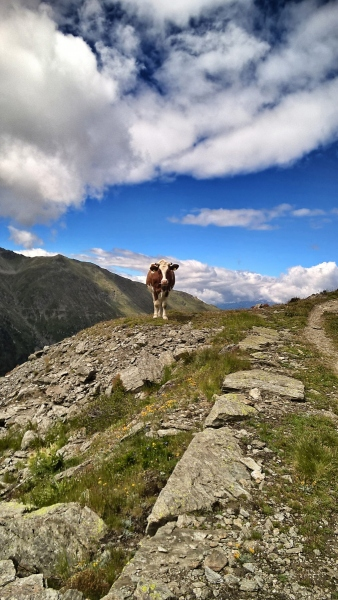 Einsame Kuh im Wallis - Schweiz