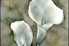 Calla - Drachenwurz